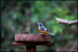 blue-capped-rock-thrush_27175516430_o