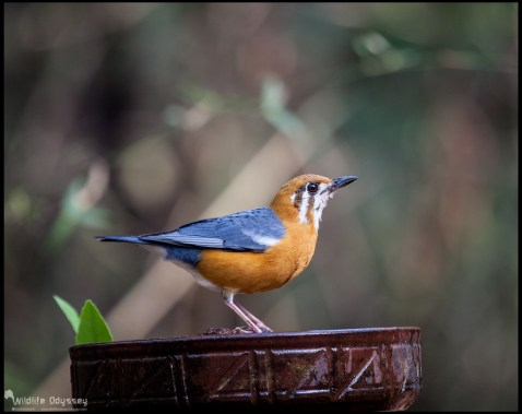 orange-headed-thrush_26786179815_o