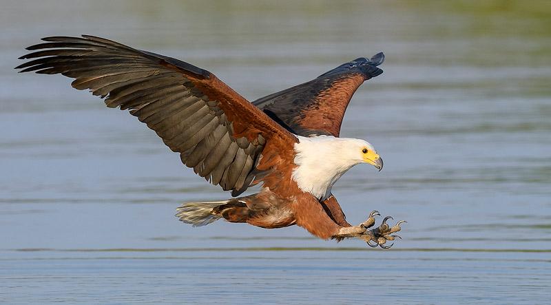 800px_Fish_Eagle_MF57463~m_froneman