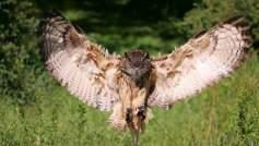 Bufnita-vultur-shutterstock_11922952-650x370