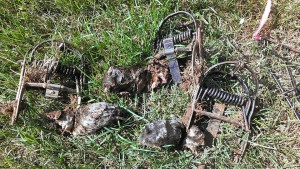 Pest Mole Trapping Yard Mole Treatments