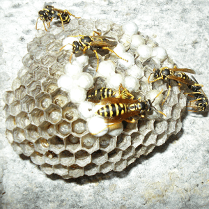 Bees or Wasps