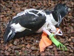 razorbill-killed-by-balloon