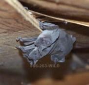 Bats inside an attic.