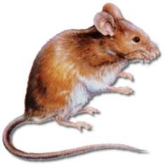 Bradenton Rat Removal Nuisance Wildlife Control And Removal Bradenton Rat Trapping