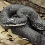 rat snake image