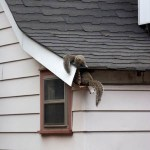 These squirrels found an easy access to their new home after being displaced by a storm.