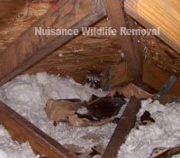 This raccoon looks warm and cozy in this attic.