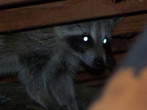 raccoon in the attic