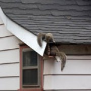 house squirrels