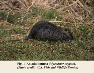 Picture of an Adult Nutria