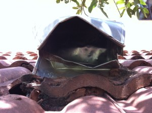 soffit.raccoon