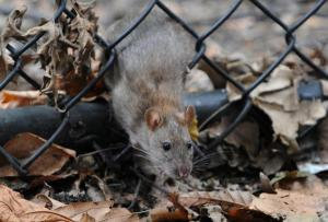rats in cold weather