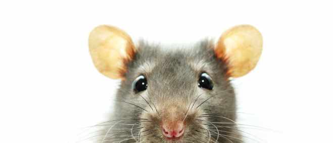 Rat and Mice Removal Tampa