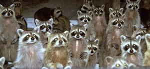 Free Raccoon Removal Manatee County