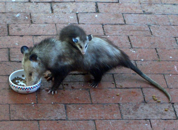 Opossum feeding from Pet dish