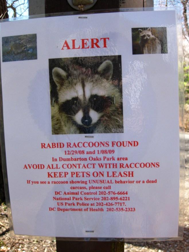 rabid-raccoon-sarasota