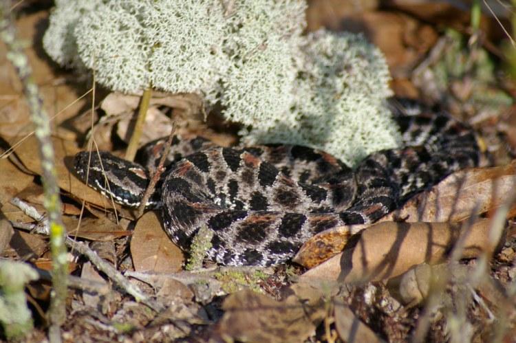 dusky-pygmy-wildlife-trappers-bradenton