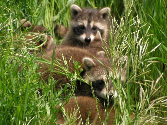 Raccoon-Dangers-Manatee-County-Bradenton