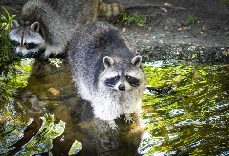 How-do-you-keep-Raccoons-Out-of-Your-Yard-Manatee-County