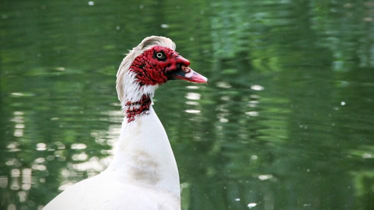 muscovy-ducks-aggressive-sarasota