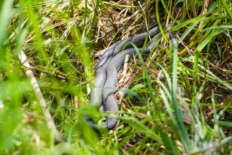 Snake Trapping and Removal Experts Fruitville FL 34232