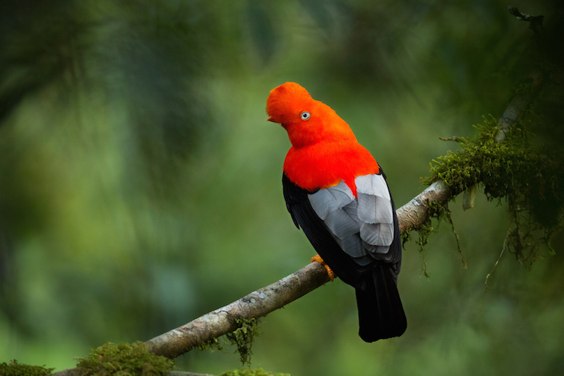 Andean cock-of-the-rock in the beautiful nature habitat, symbol of Peru