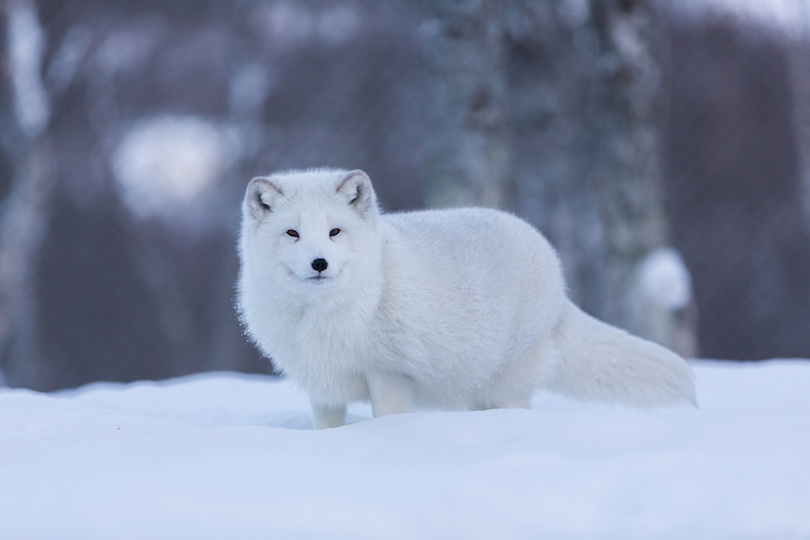 Arctic fox in snowy landscape