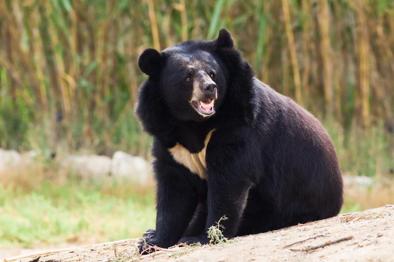 Black bear roaring