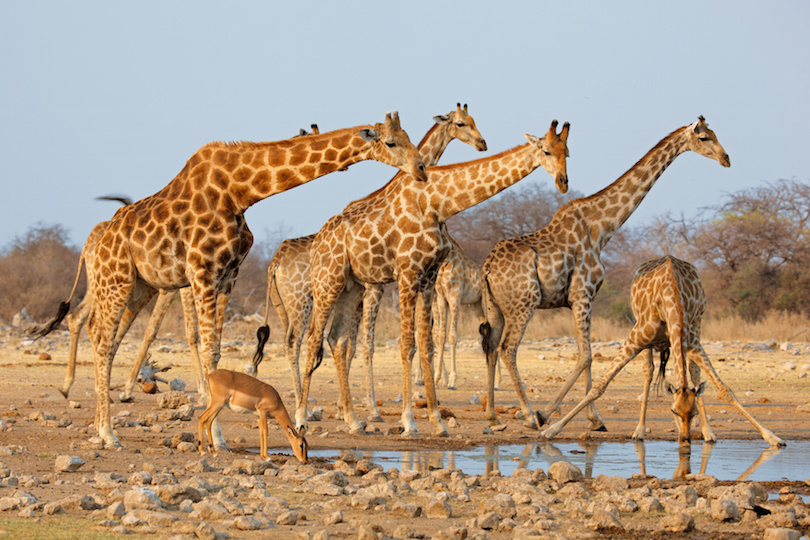 Giraffe herd at waterhole