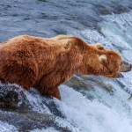 12 Largest Bear Species in the World
