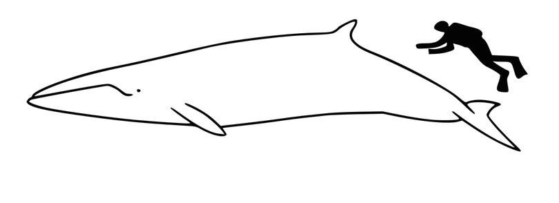 minke whale size