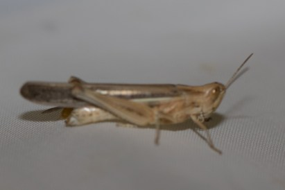 Short-horned Grasshoppers (Family Acrididae)