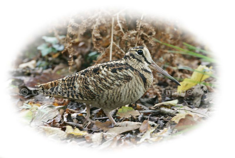 Eurasian%20woodcock%20Copyright%20Mike%20Read