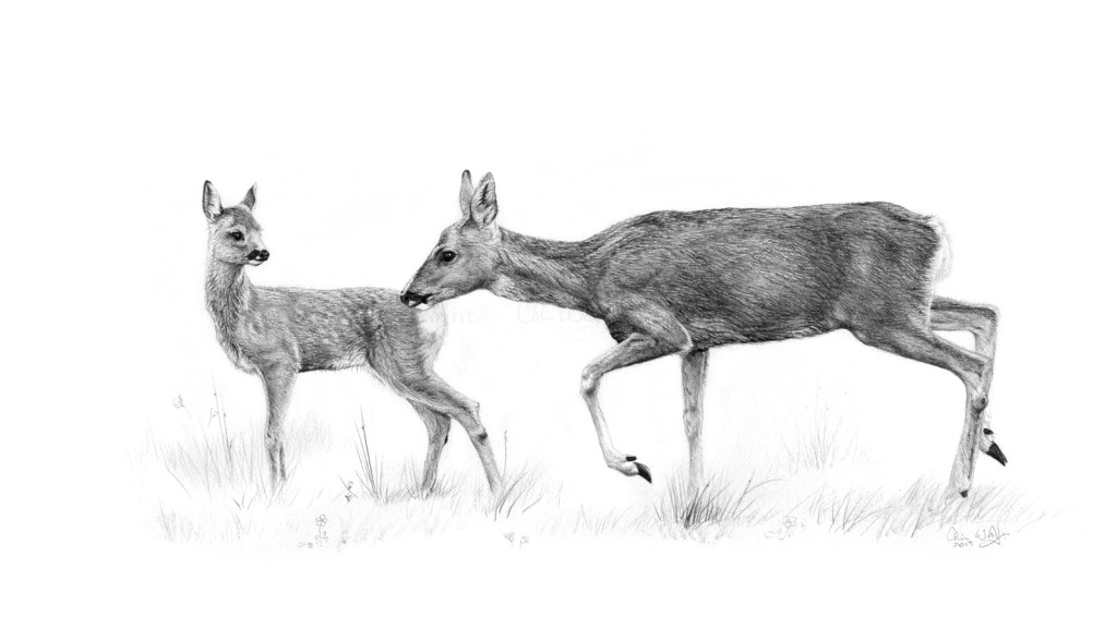 Roe mother and fawn - ws