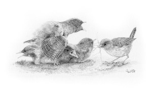 Wren family being fed by mother drawing by Colin Woolf