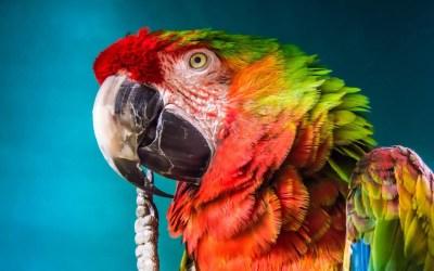 Pirate Parrots