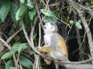 Baby squirrel monkey. Squee!