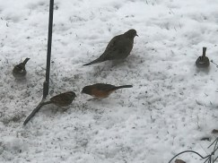 Note the head stripes and white throats on the leftmost and rightmost birds (white-throated sparrows)