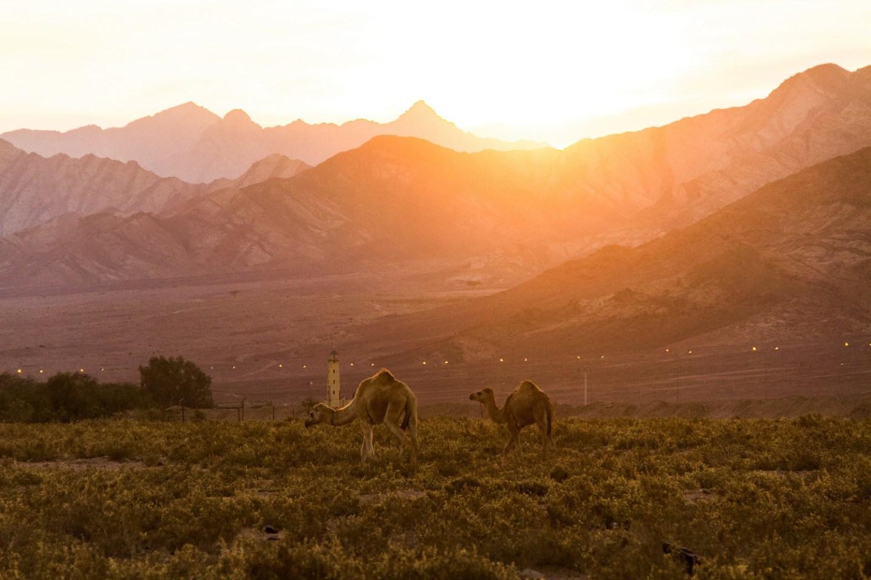 wadi rum camels sunset