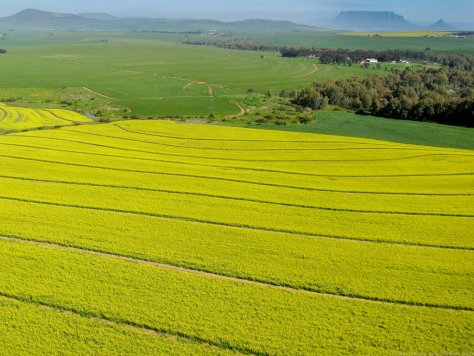 Canola fields with Table Mountain in the distance