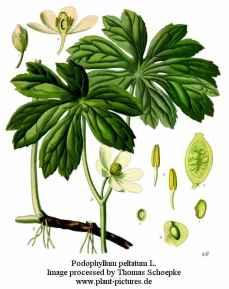podophyllum peltatum botanical