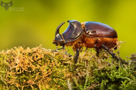 scarabeo-rinoceronte_28598905377_o