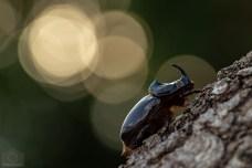 scarabeo-rinoceronte_42568470445_o