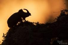 scarabeo-rinoceronte_42580717575_o