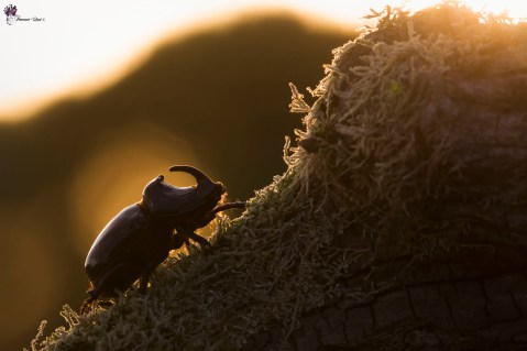 scarabeo-rinoceronte-controluce_28586782147_o