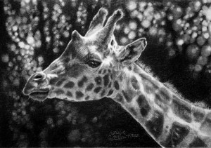 """Giraffe Portrait"" – 21 x 13cm, original graphite drawing on Hot Pressed watercolor paper. Art by Wild Portrait artist. SOLD."
