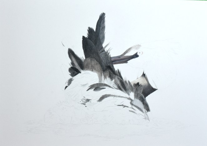 """Grebe Preening"" (working title) 11x14 Inch work in progress drawing in coloured pencil"