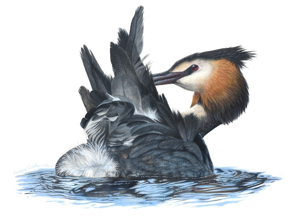 """Afloat"" 38 x 28cm drawing of a great crested grebe in coloured pencil"