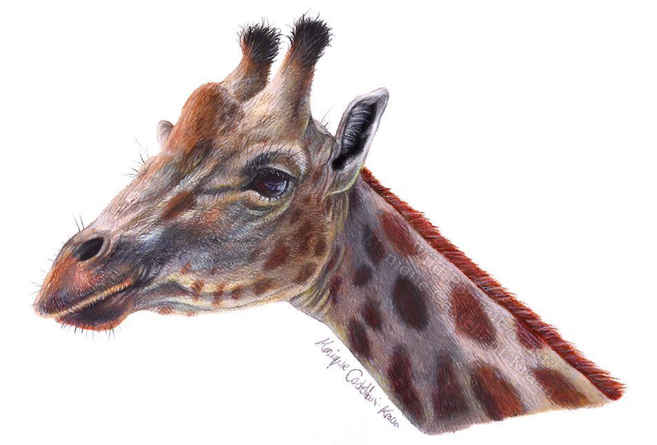 Giraffe holiday doodle coloured pencil colored pencil drawing realism sketch portrait wildlife animal cute